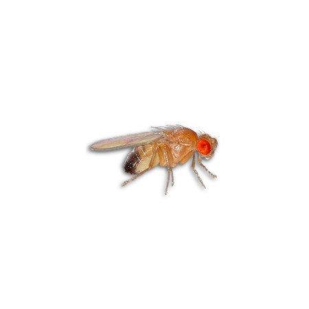 Flightless Fruit Fly Culture (Drosophila hydei)