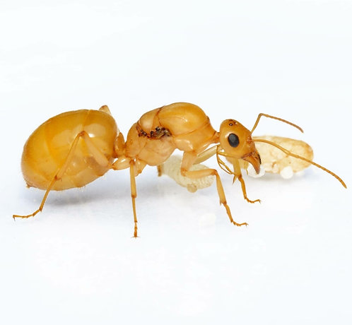 Myrmecocystus navajo (Yellow Honey Pot Ant)