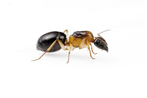 Camponotus humilior (Sugar Ant)