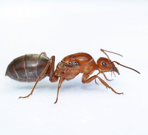 Myrmecocystus mimicus (Bicoloured Honey Pot Ant)