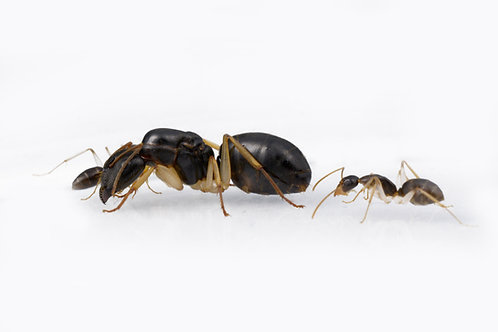 Camponotus lownei (White Footed Sugar Ant)