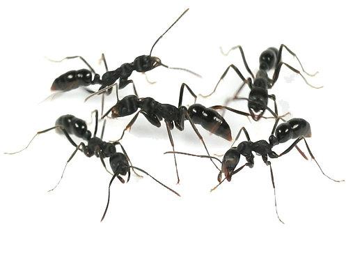 Leptogenys diminuta (Long Legged Ponerine Ant)