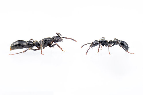 Cerapachys sulcinodis (Asian Raider Ant)