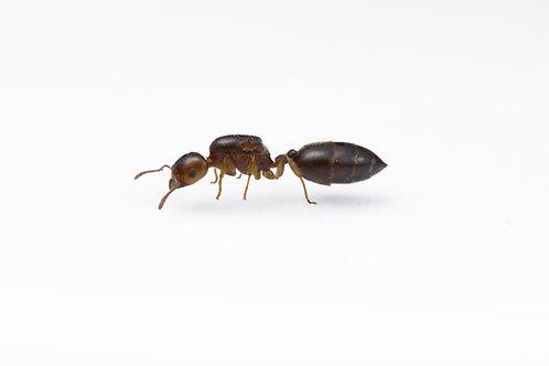 Crematogaster australis (Australian Acrobat Ant)