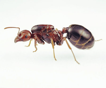 Messor aegyptiacus (Red Harvester Ant)