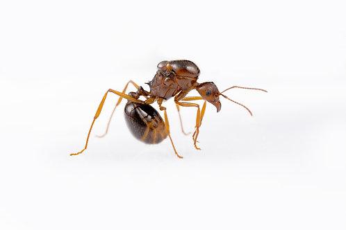 Aphaenogaster longiceps (Funnel Ant)