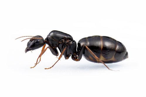 Camponotus cf. rufoglaucus