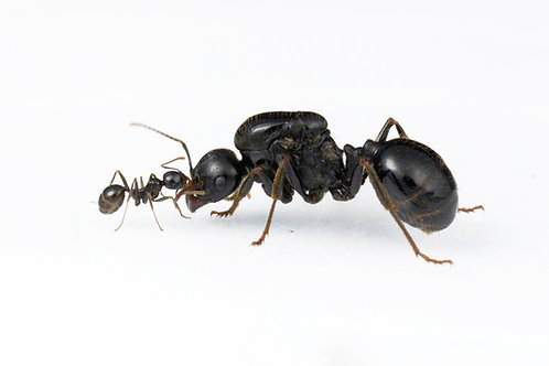 Messor capitatus (Black Harvester Ant)