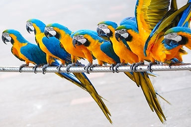 Parrotts on a wire