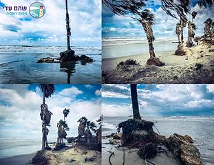 בסערה הקודמת טיילתי אל חוף הים לראות את עצי הדקל חשופי השורשים. זו מן הסתם לא הסערה הראשונה שעברה עליהם אבל הפעם שורשיהם נחשפו למגמרי. עץ...