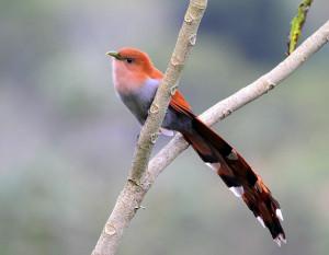 Cuco Ardilla (Piaya cayana). Tomada de http://neotropical.birds.cornell.edu/portal/species/gallery?p_p_spp=201816