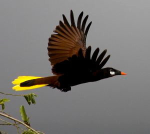 Oropéndola de Montezuma (Psarocolius montezuma). Fotografía por Paulo Philippidis.