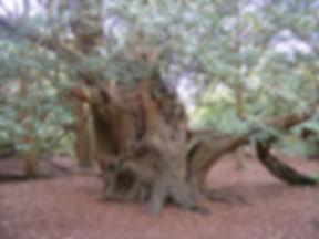 yew-tree-232712_1920.jpg