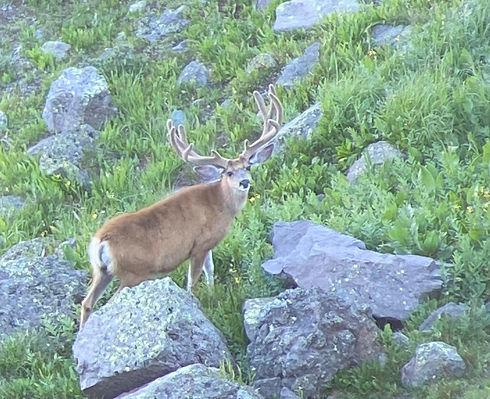 high country mule deer.jpg