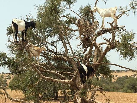 Goats love the argan fruit