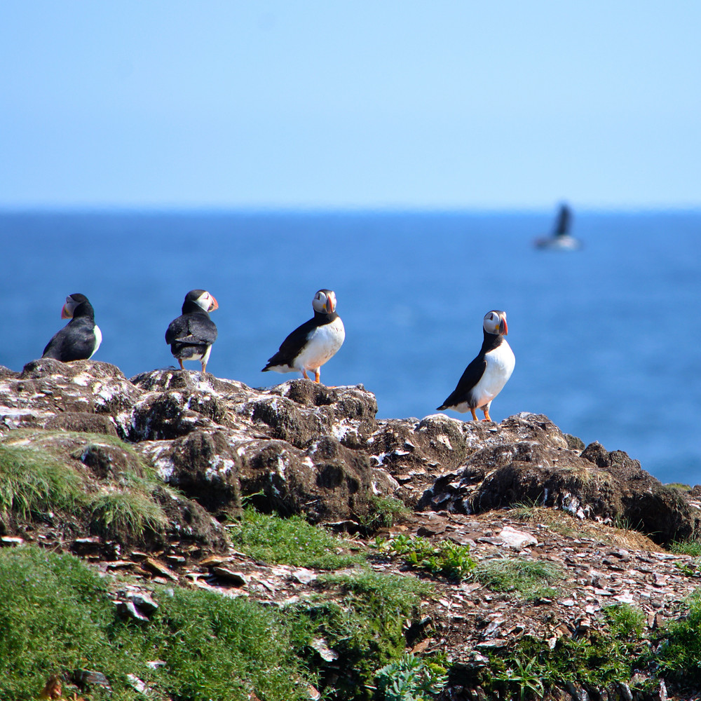 Atlantic Puffins perched on a cliff in Newfoundland