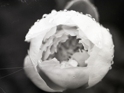a picture of a black-and-white rose