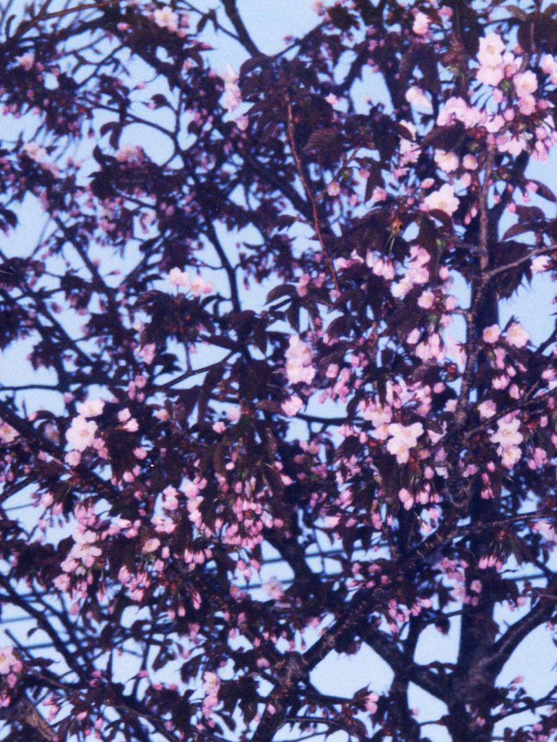 我が家の桜 母は毎年桜の木を写真に収めていた