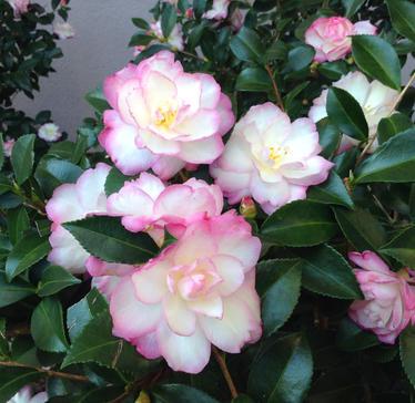 Camellia Leslie Ann
