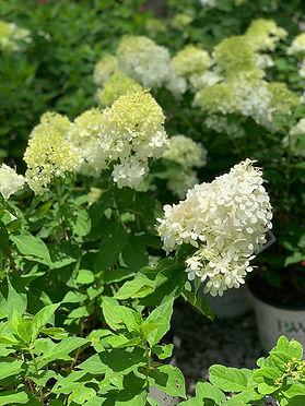 Limelight Panicle Hydrangea.jpg