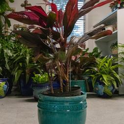 Cordyline (Ti Plant)