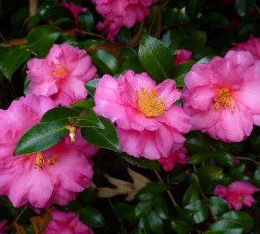 Camellia Shishi Gashira