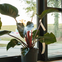 Philodendron-Congo Red