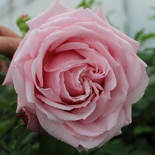 Rose Belinda's Dream