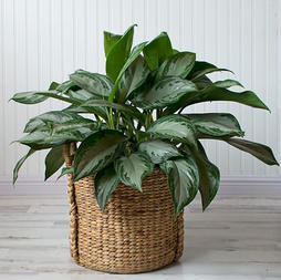 Chinese Evergreen (Aglaonema)