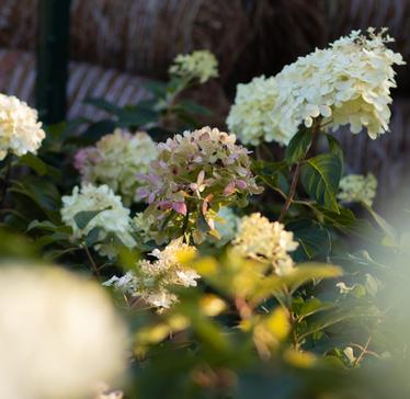 Hydrangea-Limelight