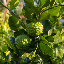 Lime-Kaffir