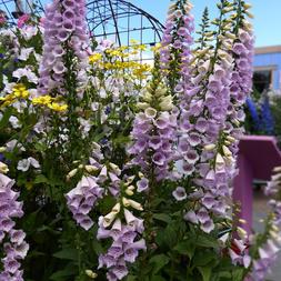 Digitalis Camelot Lavender