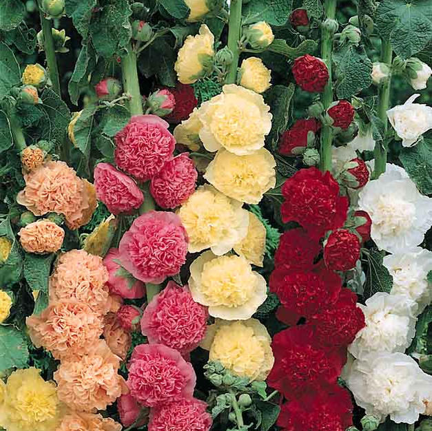 Hollyhock Chater's Double