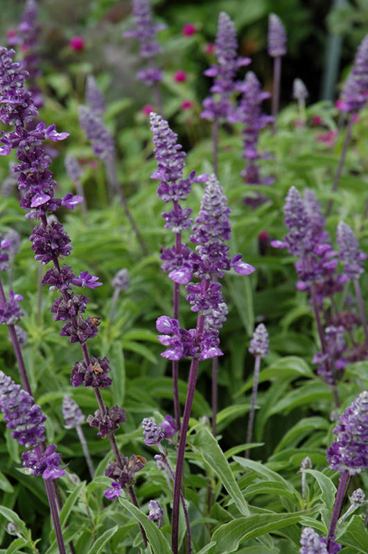 Salvia Farinacea Evolution Violet