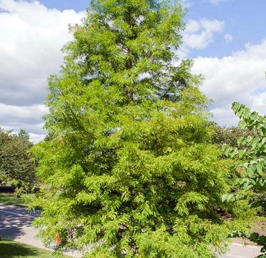 Baladcypress Taxodium-distichum