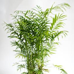 Neanthe Bella Palm