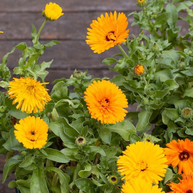 Pot Marigold Calendula*