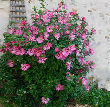 Althea Rose of Sharon