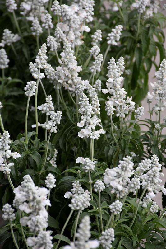 Salvia Farinacea Evolution White