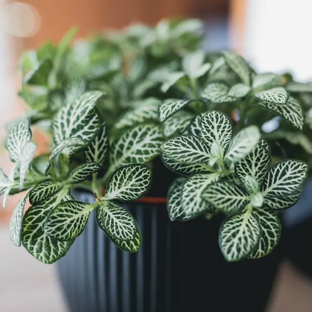 Fittonia- Nerve Plant