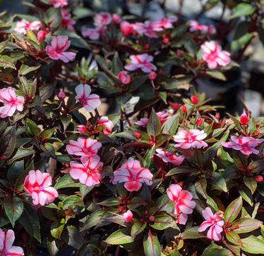Compact Pink Candy Sunpatiens