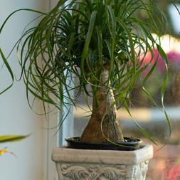 Palm Ponytail