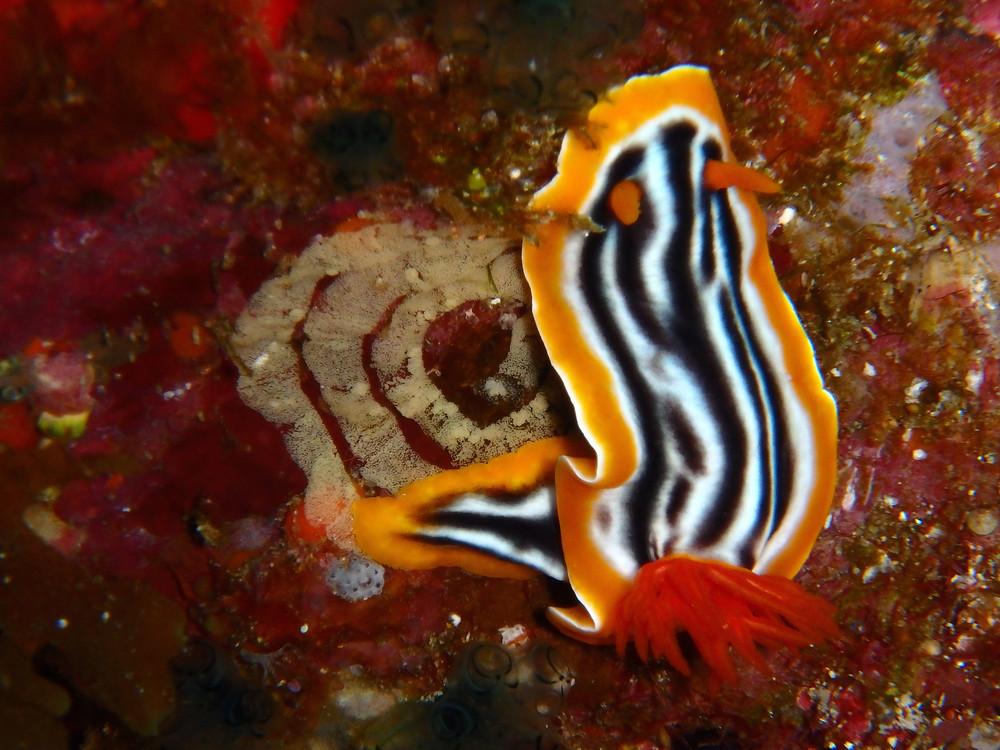 海蛞蝓產卵中