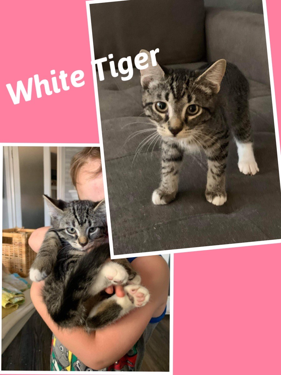 White Tiger- Adopted