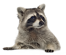 Raccoon-PNG-Picture.png