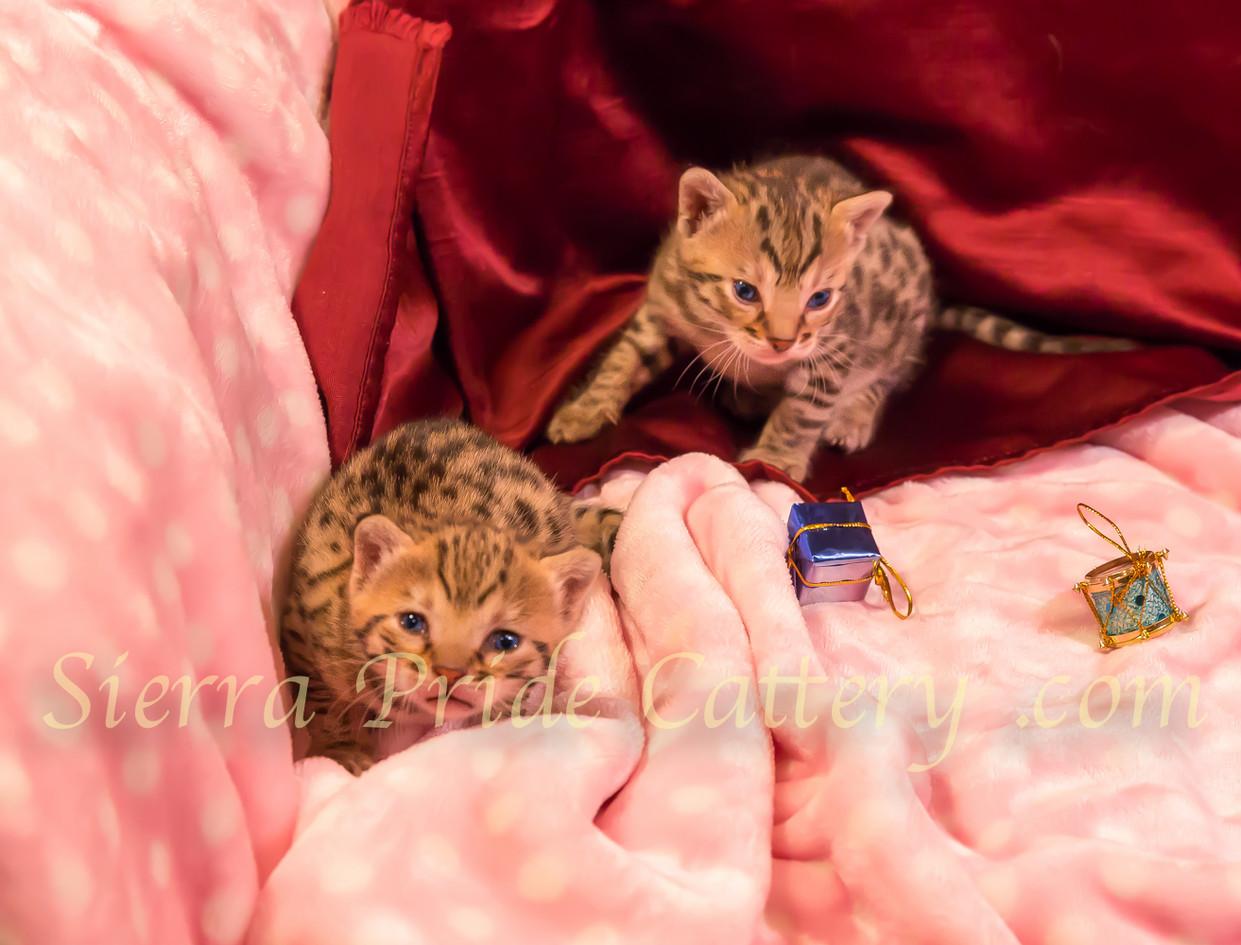 Savannah kittens 4