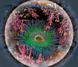 Anemone under glass #2