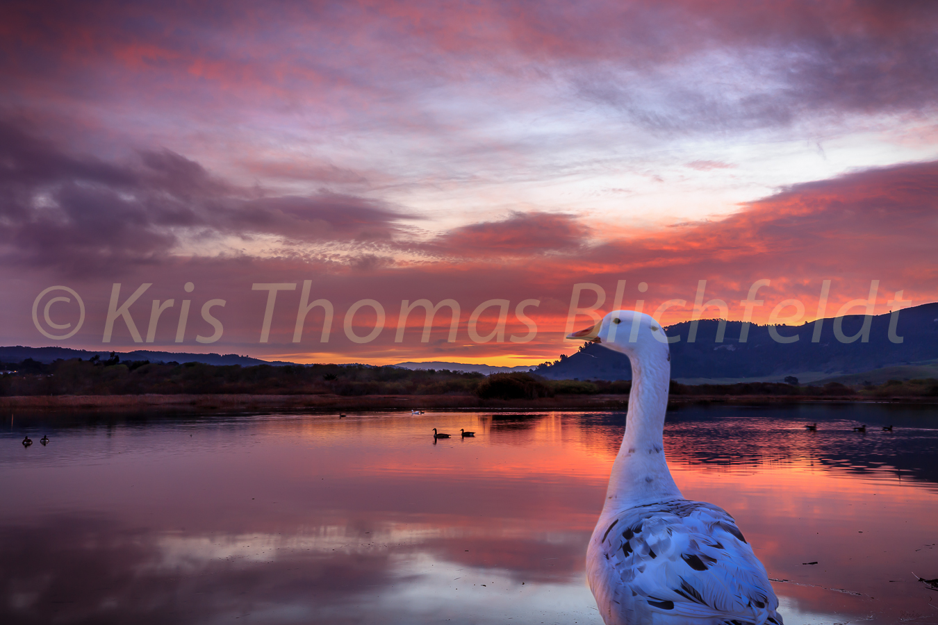 Sunrise with carmella the white goose