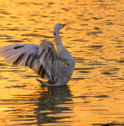 The goose that layed the golden pond