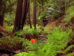poppy fern